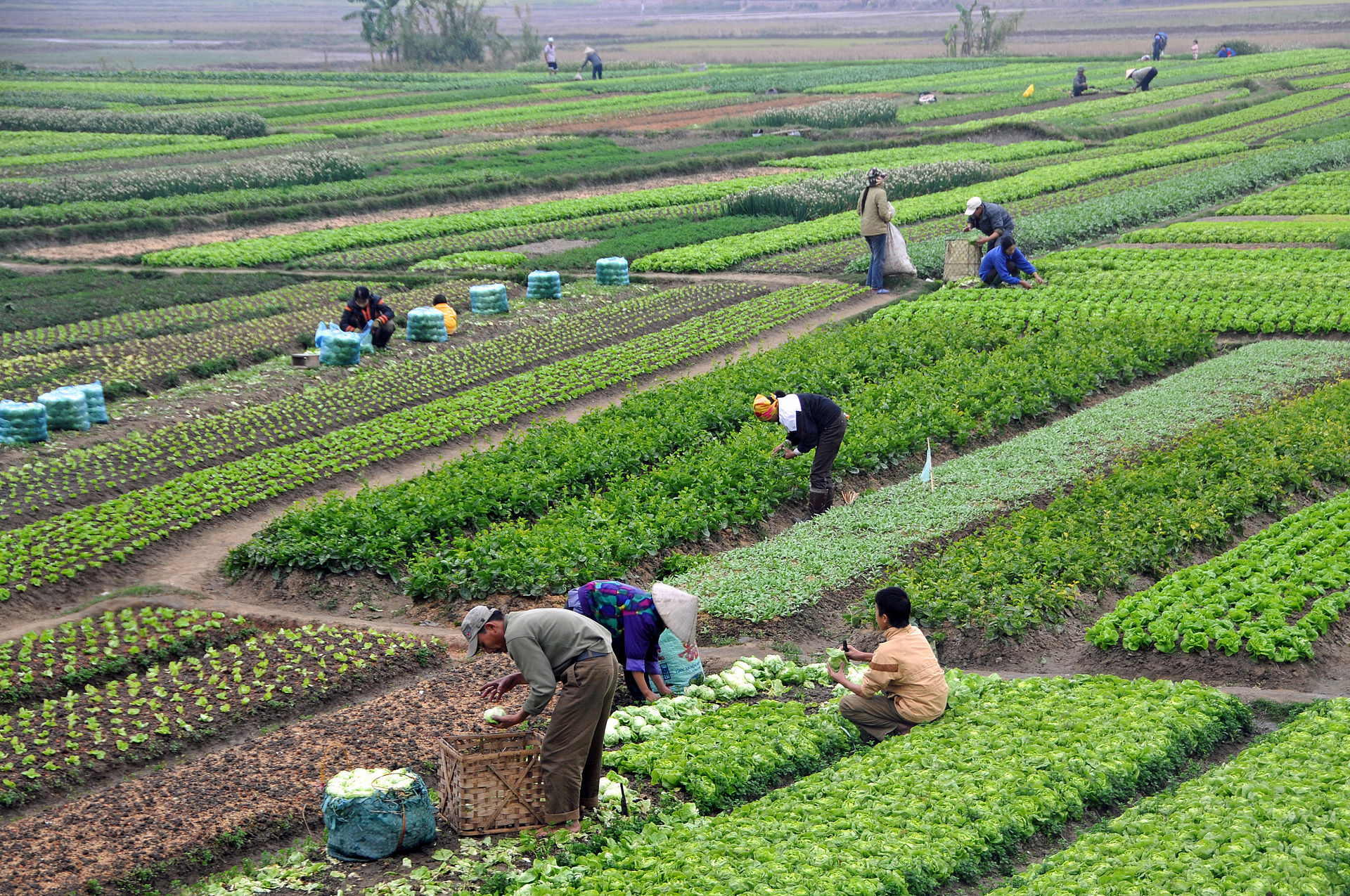 Agriculture in Vietnam with farmers | commons.wikimedia.org / Dennis Jarvis